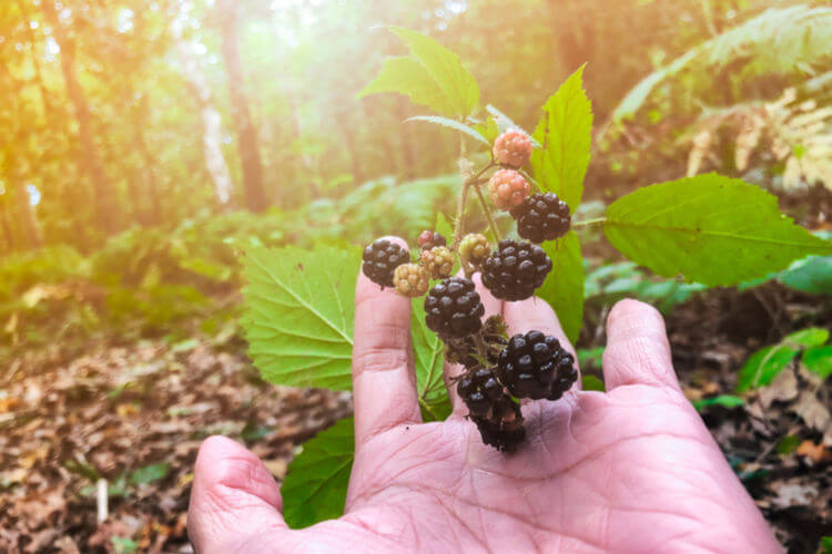 Foraging for blackberries in the forest