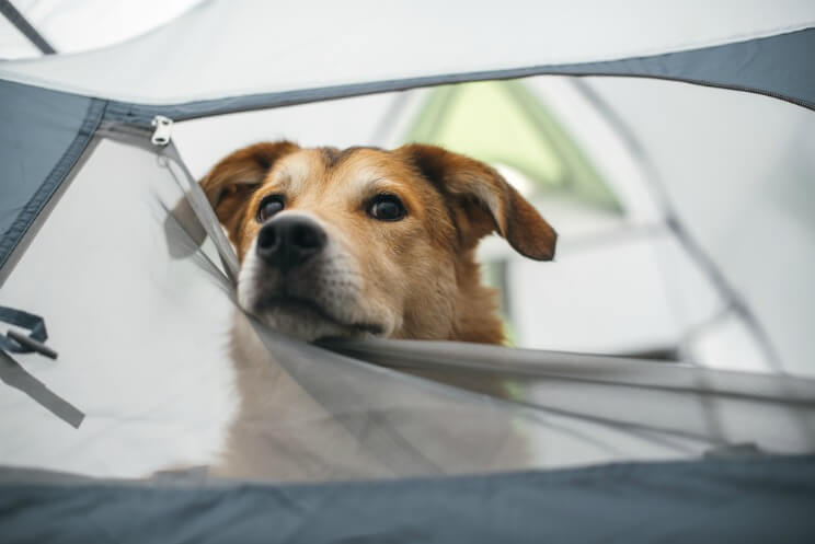 Dog peeking its head out of a tent