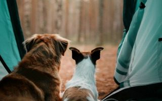 2 dogs looking out of a tent