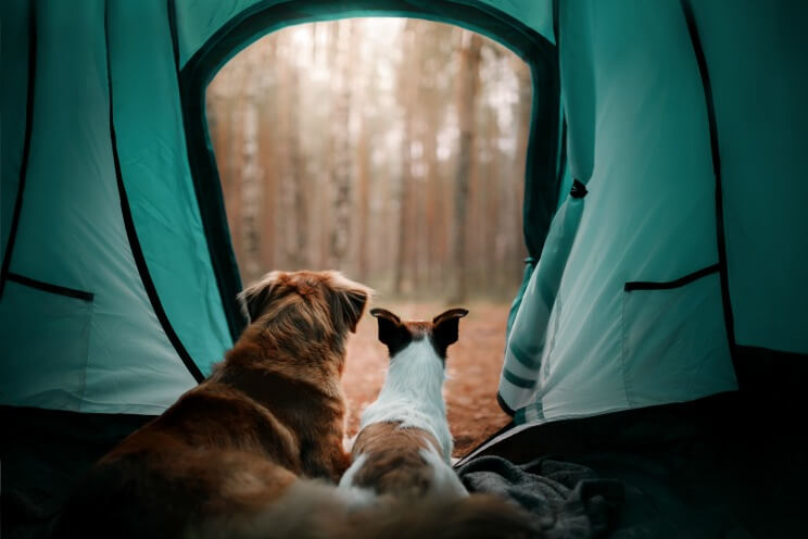 Two dogs looking out of a tent